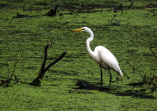 White Egret. Egret hunting in a field of green Stock Images