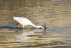 White egret hunting fish Stock Photos