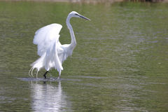 White egret hunting in Kyoto, Japan Royalty Free Stock Photo