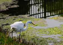 White Egret hunts for food Royalty Free Stock Images