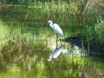 White egret and  image. This white egret was  spotted at Pilanesberg National  Park catching   small  fish etcetera Royalty Free Stock Image