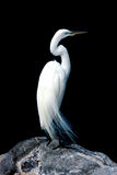 White egret isolation on black Royalty Free Stock Photography
