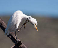 White Egret with itch Royalty Free Stock Image