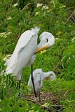 Egret and its young preening Royalty Free Stock Photo