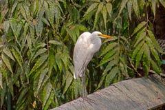 White egret Stock Photos