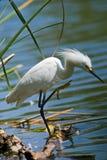White Egret by the Lake Stock Photos