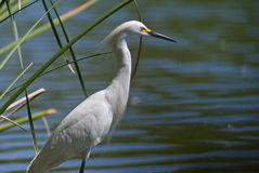 White Egret by the Lake Royalty Free Stock Photos