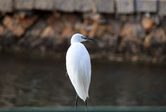 White egret on the lake shore in Xiamen Stock Images