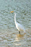 White Egret in the lake. White Egret standing in the lake Stock Photo