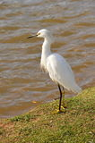 White Egret by the lake. In a sunny day Royalty Free Stock Photography