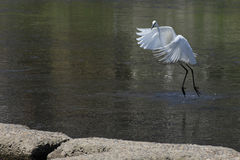 White egret landing in a river in Kyoto Stock Photos
