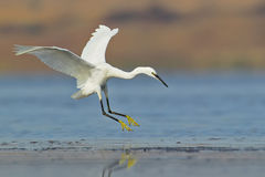 White egret landing on water Royalty Free Stock Image