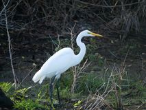 White Egret lands on alert for movement royalty free stock image