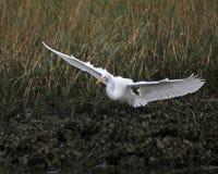 White Egret. Large white Egret flying along the marshes near the ocean in Cedar Key, Florida Stock Images