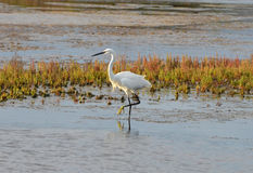 White egret in marsh Royalty Free Stock Photos
