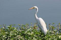 White Egret. A white egret at marsh land area, sitting Stock Photos