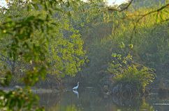 White Egret in Nature Park Royalty Free Stock Photo