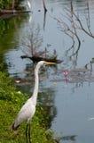 White egret near the lake Stock Photo