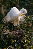 White Egret in Nest, Florida Royalty Free Stock Photography