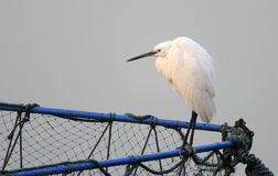 White egret on the net cage Royalty Free Stock Images