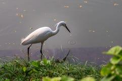 White Egret Royalty Free Stock Images
