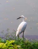 White Egret Royalty Free Stock Photography