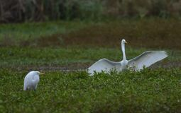 White Egret. One Egret watches as another lands near it on a not so clear morning royalty free stock photos