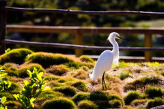 White egret on a park near a pond Stock Images