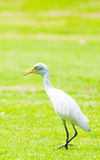 White egret in the park Royalty Free Stock Photo