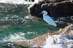 White Egret on Pelikan rock at Lands End in Cabo San Lucas Mexico Stock Photos