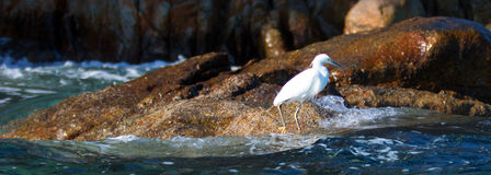 White Egret on Pelikan rocks at Lands End in Cabo San Lucas Baja Mexico Royalty Free Stock Images