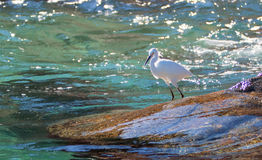 White Egret on Pelikan rocks at Lands End in Cabo San Lucas Baja Royalty Free Stock Photography