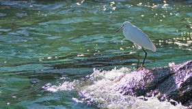 White Egret on Pelikan rocks at Lands End in Cabo San Lucas Mexico B C S Royalty Free Stock Image