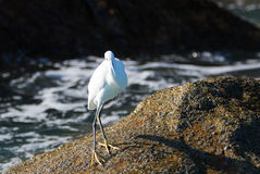 White Egret on Pelikan rocks at Lands End in Cabo San Lucas Mexico Royalty Free Stock Photography