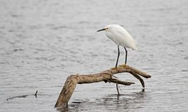 White Egret perched on branch in brackish water in nature preserve marsh in San Jose del Cabo in Baja California Mexico. BCS royalty free stock photos