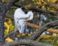 White Egret Perched on Limb at Chincoteague Island. White egret on Chincoteague Island Royalty Free Stock Photography