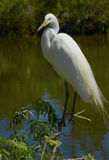 White Egret perched on top of a bush Stock Photo