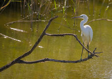 White Egret perching on branch with backlight Royalty Free Stock Images