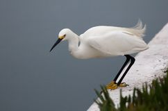 White Egret Poised To Jump Royalty Free Stock Photo
