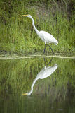 White egret by a pond. Stock Images