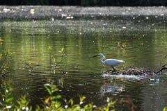 White Egret in the pond Stock Photo