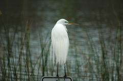 White Egret portrait Royalty Free Stock Photography