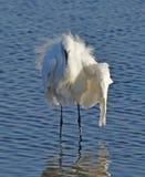 White egret Royalty Free Stock Photo