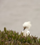 White Egret Preening Royalty Free Stock Photos
