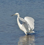 White egret profile. White egret on the lake surface Stock Photos