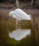 White egret in reflection. Concentrates on fishing Royalty Free Stock Photos