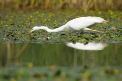 White Egret reflection. Great White Egret foraging in small pond Royalty Free Stock Photography