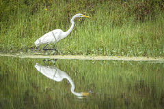White egret and reflection in pond. A white egret on the shore of a pond casts a reflection in calm water near Deleon Springs, Florida Royalty Free Stock Photos