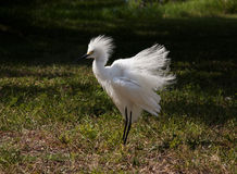 White egret  with ruffled feathers protecting territory. Royalty Free Stock Photography