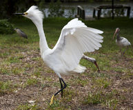 White egret  with ruffled feathers protecting territory. White Crane Stock Image